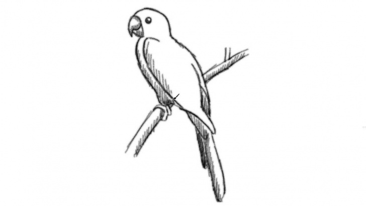 Good Parrot Pencil Sketch Simple Parrot Pencil Drawing At Paintingvalley | Explore Collection Of Pic