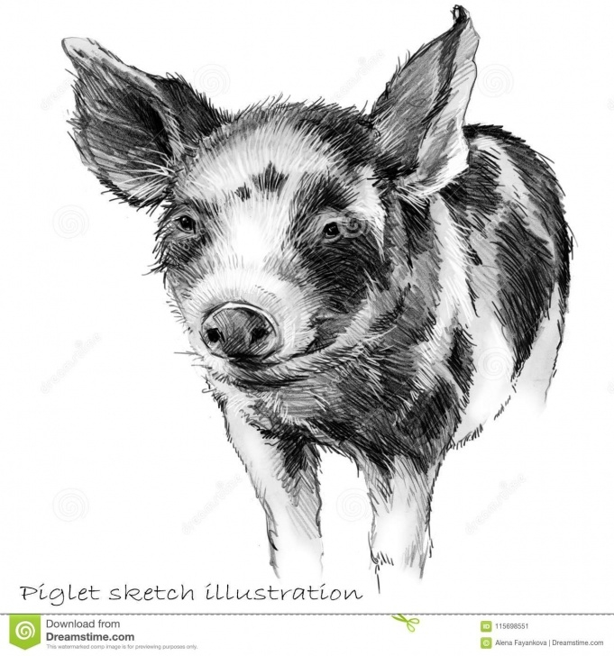 Good Pig Pencil Drawing Courses Cute Piglet. Pig Pencil Sketch Illustration Stock Illustration Pic