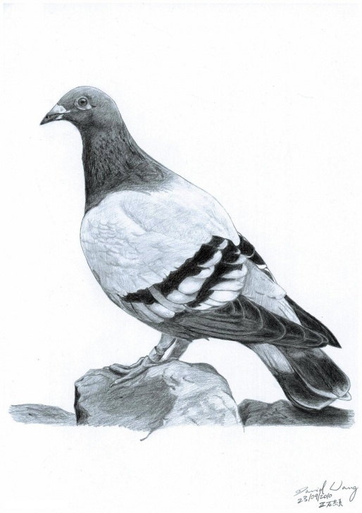 Good Pigeon Pencil Drawing for Beginners Pigeon Pencil A4 | Art | Drawings, Pigeon, Pencil Pics