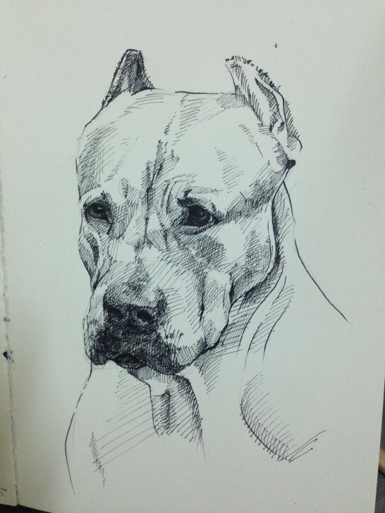 Pitbull Drawings In Pencil