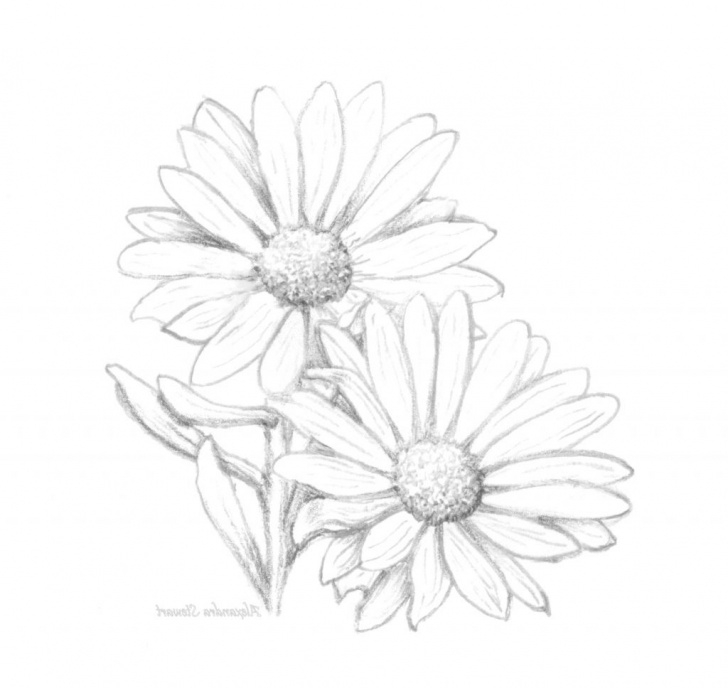 Gorgeous Daisy Pencil Drawing Free Drawing Of A Daisy Daisy Pencil Drawing    Painting   Daisy Photo
