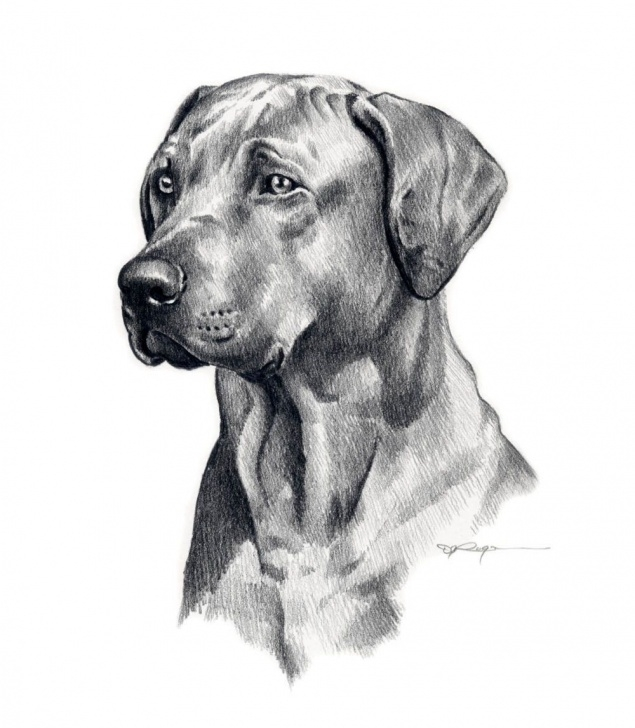Gorgeous Dog Pencil Sketch Free Dog Drawing | Dog/cat/etc | Dog Pencil Drawing, Realistic Pencil Photos