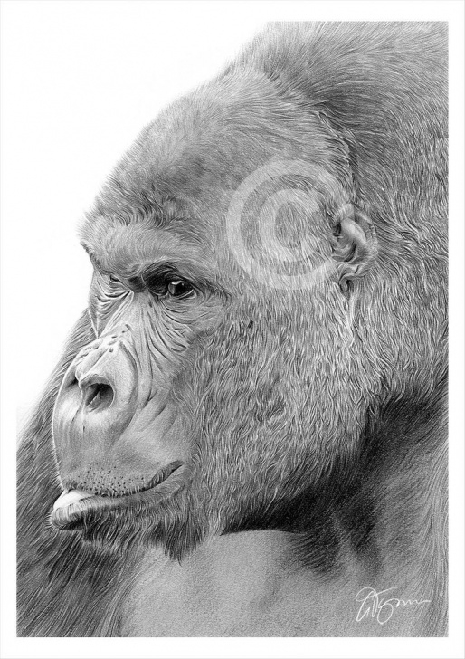 Gorgeous Gorilla Pencil Drawing Courses Mountain Gorilla Pencil Drawing Print - Animal Art - Artwork Signed By  Artist Gary Tymon - Ltd Ed 50 Prints Only - 2 Sizes - Wildlife Art Photo