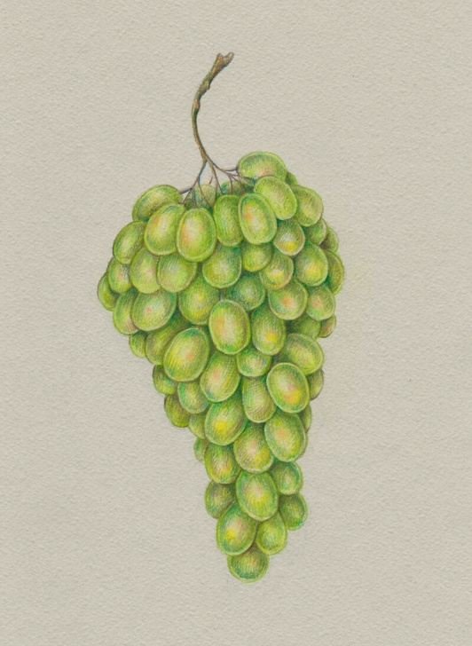 Gorgeous Grapes Pencil Drawing Tutorials How To Draw Grapes With Colored Pencils Photo