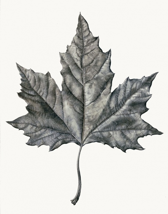 Gorgeous Leaf Drawings In Pencil Simple Graphite Drawing Of Maple Leaf | Rosie Sanders … | Bordados | Graph… Pic