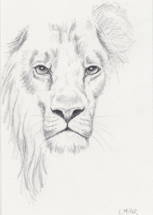 Gorgeous Lion Pencil Sketch Lessons Lion Pencil Drawing, Original 5X7 Big Cat Sketch, Lion Fine Art Pics