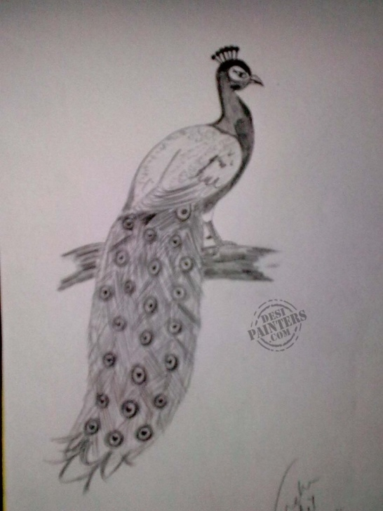 Gorgeous Peacock Pencil Sketch Courses Pencil Drawing Images Of Peacock - Drawingsketch Image