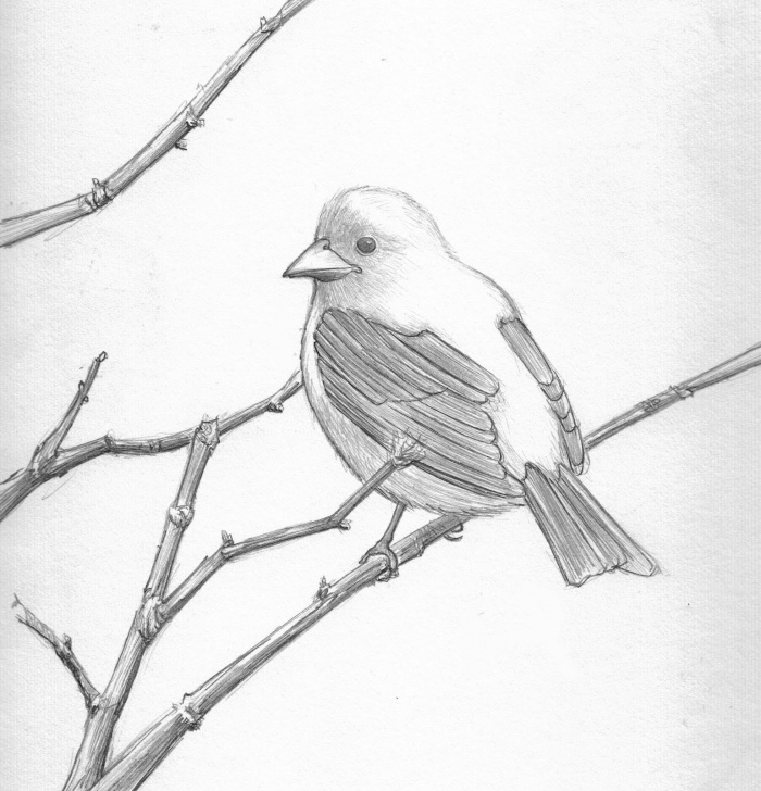 Gorgeous Pencil Pencil Drawing Lessons Drawings Of Love Birds | Bird Pencil Drawing - Scarlett Tanager Pics