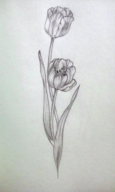 Gorgeous Tulip Drawings In Pencil Tutorial My Practice #tulip #pencil #sketch #draw | Pencil Floral Sketch Images