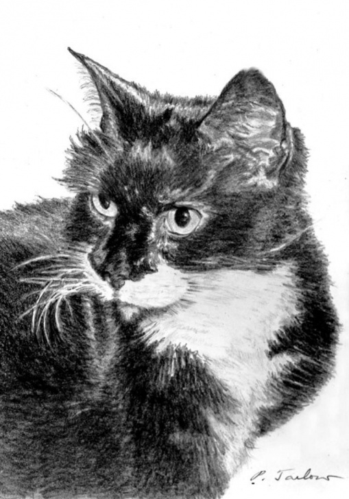Incredible Cat Pencil Art Simple Black And White Cat Pencil Art, Tuxedo Cat Drawing Print, Cat Portrait Art  Print, Cat Art, Black And White Cat Drawing By P. Tarlow Picture