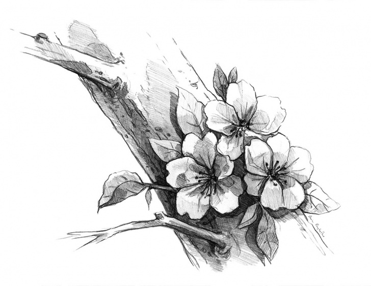 Incredible Cherry Blossom Pencil Drawing Courses Cherry Blossom - Drawing In Pencil On Behance Photo