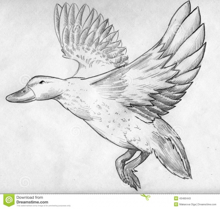 Incredible Duck Pencil Sketch Techniques Flying Duck Sketch Stock Illustration. Illustration Of Sketch - 43460443 Pic