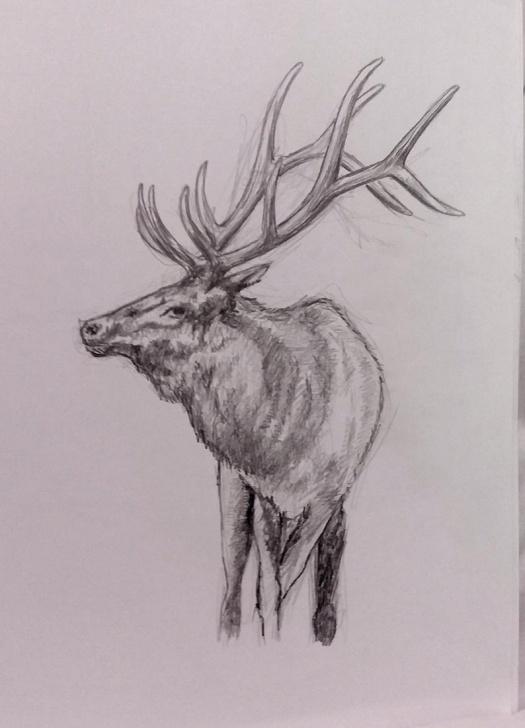 Incredible Elk Pencil Drawings Easy Elk Bull Elk Pencil Wall Art Original Photos