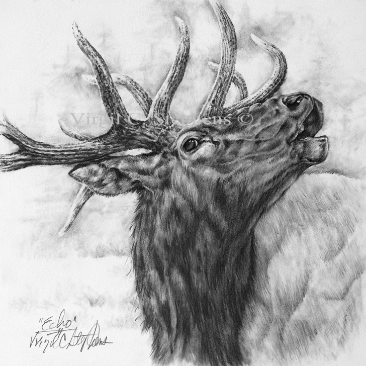 Incredible Elk Pencil Drawings Step by Step Elk, Echo, Pencil Drawing Of The Majestic Rocky Mountain Elk In The  Wilderness, S/n Limited Edition Print Pictures