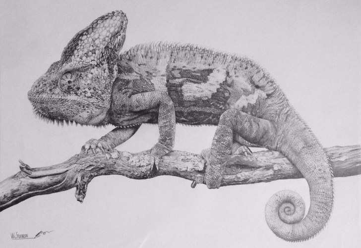 "Incredible Lizard Pencil Drawing Free Wil Stevenson On Twitter: ""chameleon- Pencil Drawing Photos"