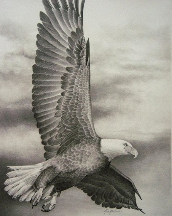Incredible Pencil Drawings Of Eagles In Flight Lessons Eagle In Flight Drawings | Fine Art America Pics