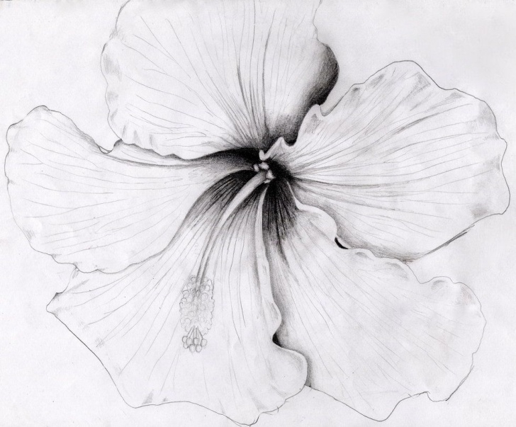 Incredible Pencil Sketch Of Hibiscus Flower Easy Hibiscus By O0Starrieskye0O.deviantart On @deviantart Picture