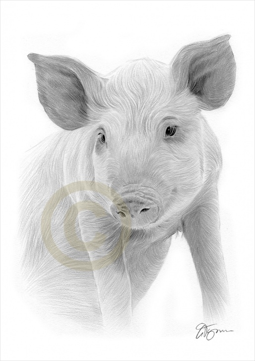 Incredible Pig Pencil Drawing Step by Step Pencil Drawing Of A Pig By Artist Gary Tymon Pics