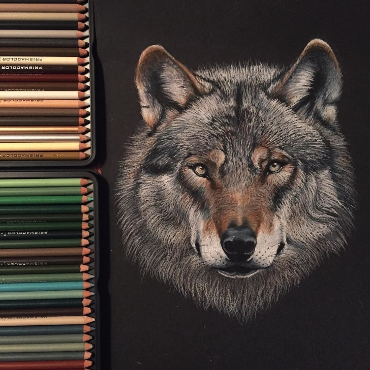 Incredible Prismacolor On Black Paper Lessons Wolf Drawing Made With Prismacolor Pencils On Black Paper (Sold) By Pictures