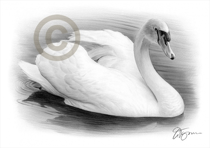 Incredible Swan Pencil Drawing Tutorial Swan, Rocky, Raikan And A Country Cottage | Gary Tymon's Blog Picture