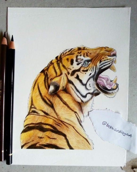 Incredible Tiger Colored Pencil Drawing Tutorial Tiger Coloured Pencil Drawing | Art Amino Pictures