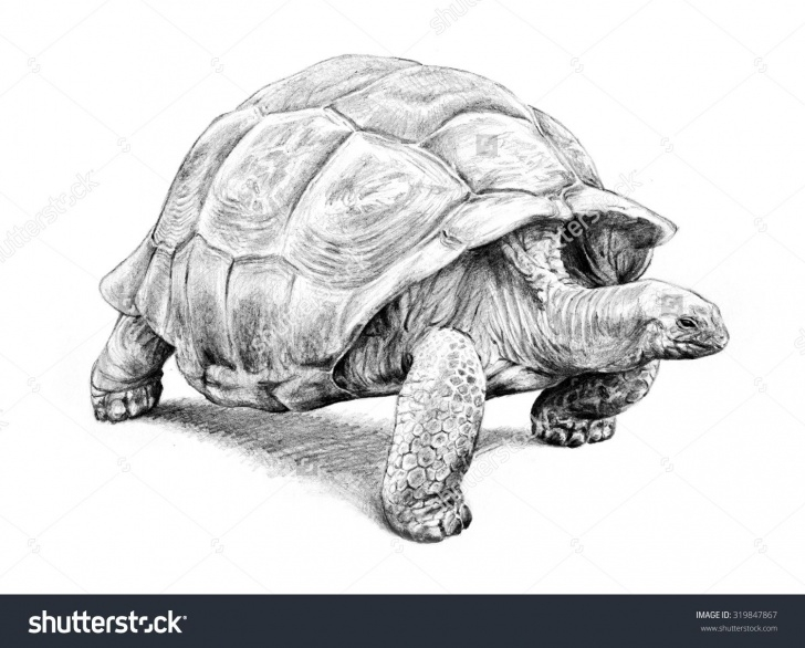 Incredible Tortoise Pencil Sketch Ideas Pin By Heather Miller On Art Inspiration In 2019 | Tortoise Drawing Pic