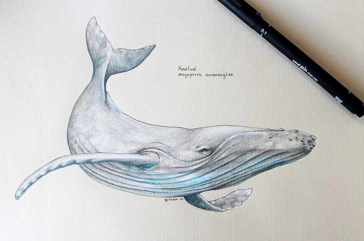 Incredible Whale Pencil Drawing Simple Humpback Whale Pencil Sketch And Humpback Whale Scientific Drawing Pics