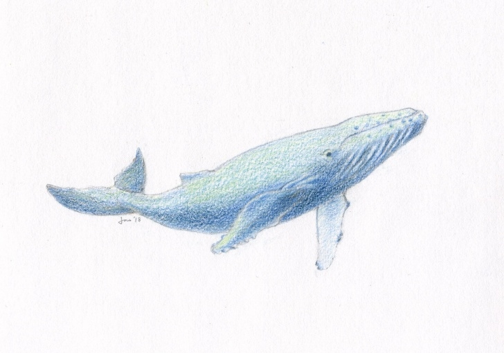 Incredible Whale Pencil Drawing Tutorial Original Young Humpback Whale - Colored Pencil Sketch Pictures
