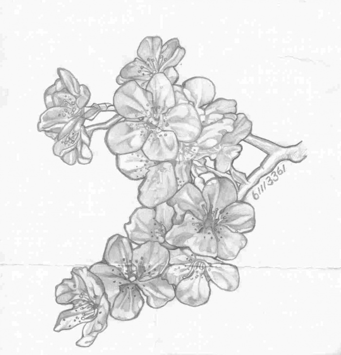 Inspiration Cherry Blossom Pencil Drawing Tutorial Cherry Blossom Tree Pencil Drawing Photo