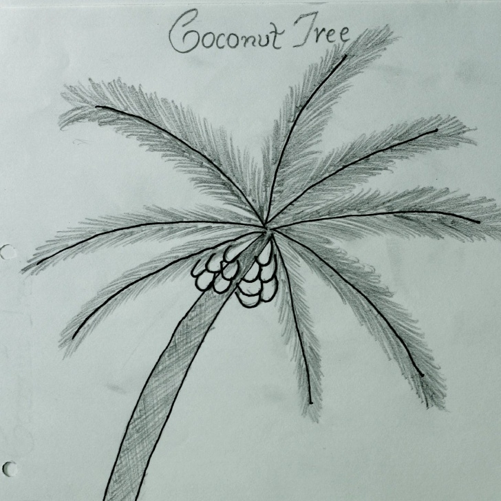 Inspiration Coconut Tree Pencil Drawing Tutorials Coconut Tree Sketch At Paintingvalley | Explore Collection Of Image