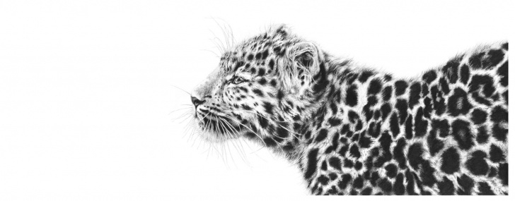 Inspiration Leopard Pencil Drawing Free Graphite Pencil Drawing, Leopard - Nature In Art Pictures