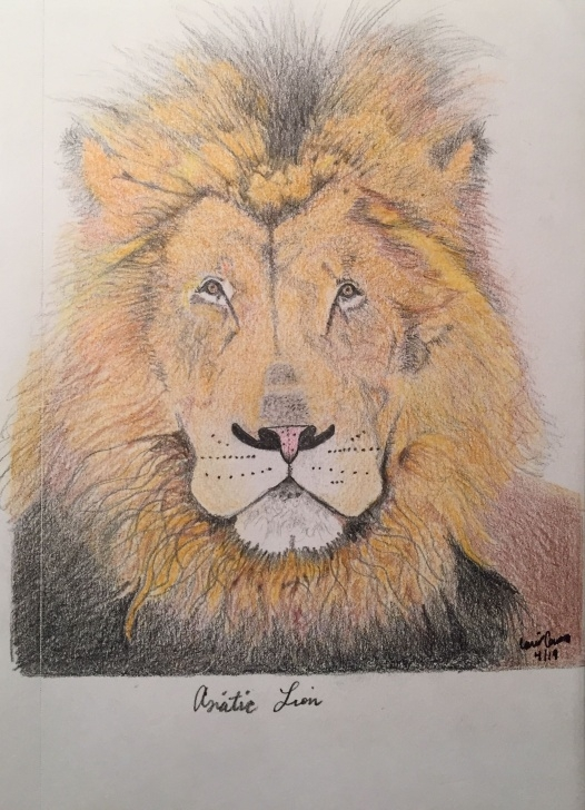 "Inspiration Lion Colored Pencil Drawing Tutorial Asiatic Lion 7""X5.5"" Color Pencil Drawing 