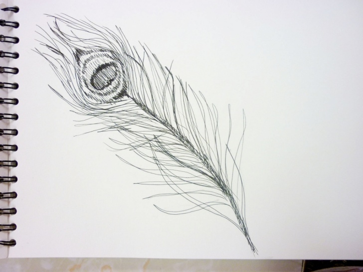 Inspiration Peacock Feather Pencil Drawing Lessons Peacock Feather Sketch At Paintingvalley | Explore Collection Of Picture