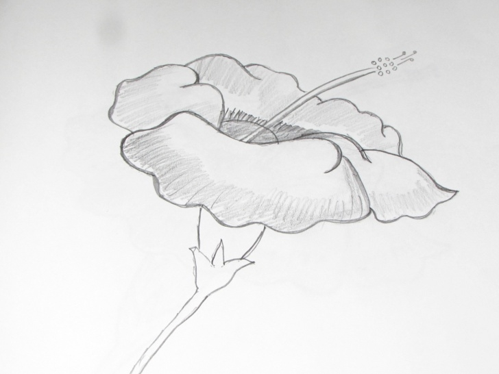Inspiration Pencil Sketch Of Hibiscus Flower Courses How To Draw And Sketch Hibiscus Flower Using Pencil - Richa Art Club Photos
