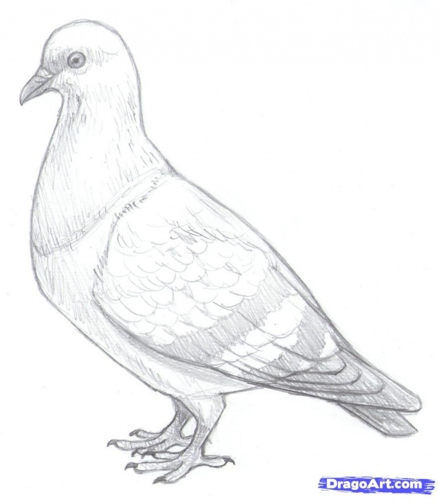 Inspiration Pigeon Pencil Sketch Tutorials How To Draw Pigeons, Step By Step, Birds, Animals, Free Online Images