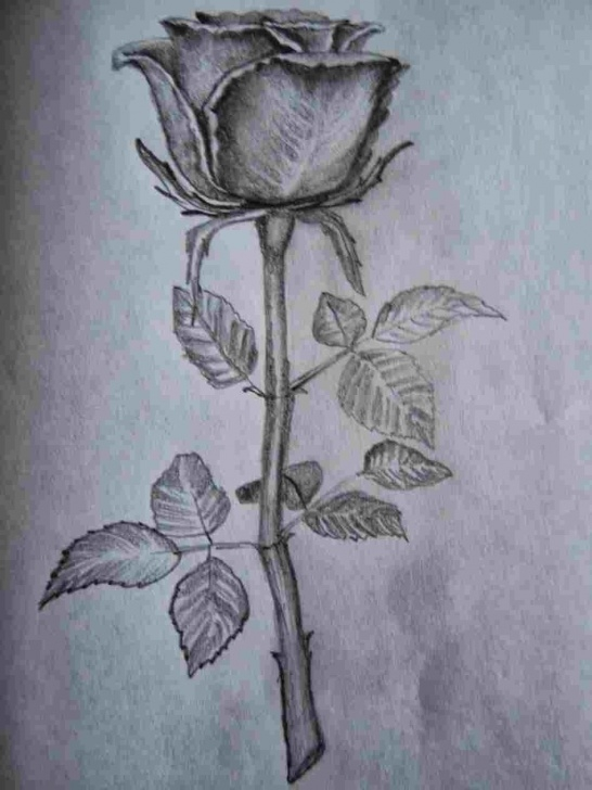 Inspiration Rose Flower Pencil Sketch Easy Pencil Drawing Of A Rose | Drawing Work Pic