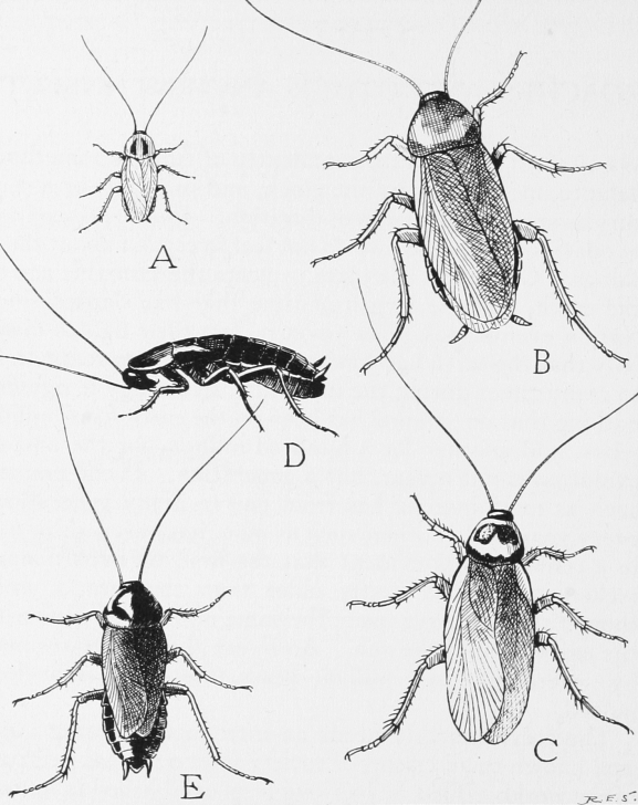 Inspiring Cockroach Pencil Drawing Techniques for Beginners Cockroach - Wikipedia Photos
