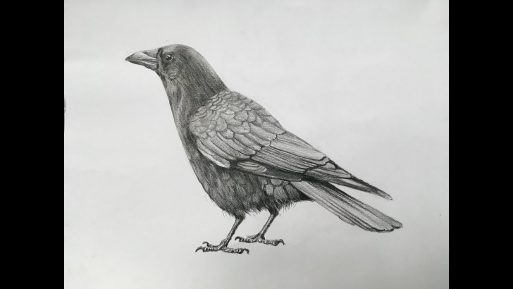 Inspiring Crow Pencil Sketch Tutorials How To Draw A Crow With Pencil Strokes | Realistic Crow Drawing In Pencil Images