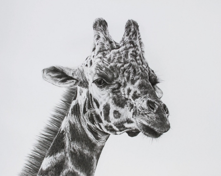 Inspiring Giraffe Pencil Drawing Step by Step Giraffe Pencil Drawing | Richard Johnson | Flickr Pic
