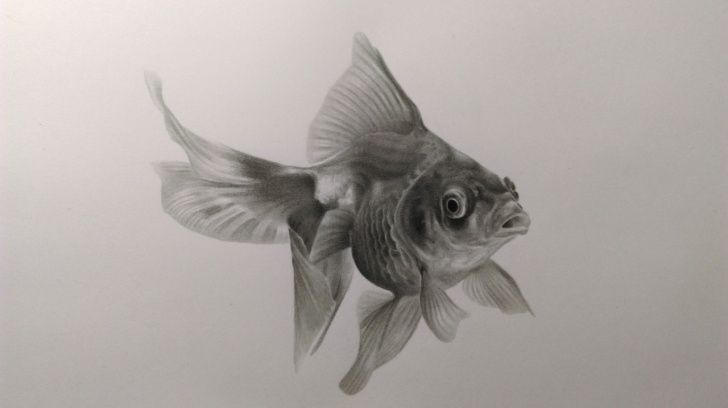 Inspiring Goldfish Pencil Drawing Easy Neeyellow Drawings — A Graphite Pencil Drawing Of A Gold Fish:) Pics