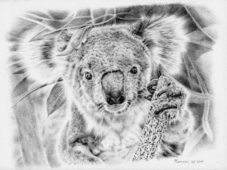 Inspiring Koala Pencil Drawing Ideas Photorealistic Pencil Drawings For Koala Hospital - Remrov's Artwork Picture