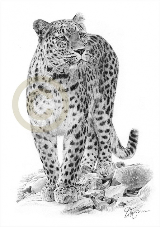 Inspiring Leopard Pencil Drawing Tutorial Persian Leopard Pencil Drawing Print - Big Cat Art - Artwork Signed By  Artist Gary Tymon - 2 Sizes - Ltd Ed 50 Prints Only - Pencil Portrait Pictures