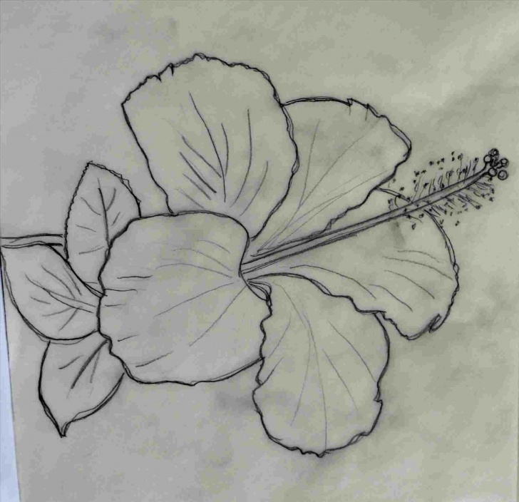 Inspiring Pencil Sketch Of Hibiscus Flower for Beginners Hibiscus Pencil Drawing At Paintingvalley | Explore Collection Pic
