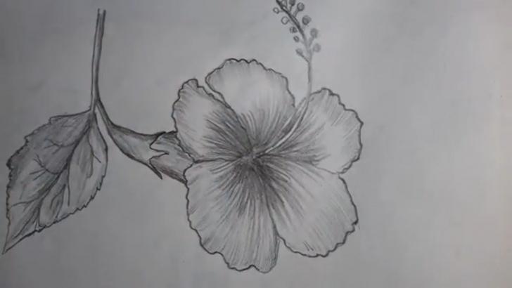 Interesting Hibiscus Flower Pencil Drawing Techniques How To Draw A Hibiscus Flower With Pencil Shading (জবা) Image