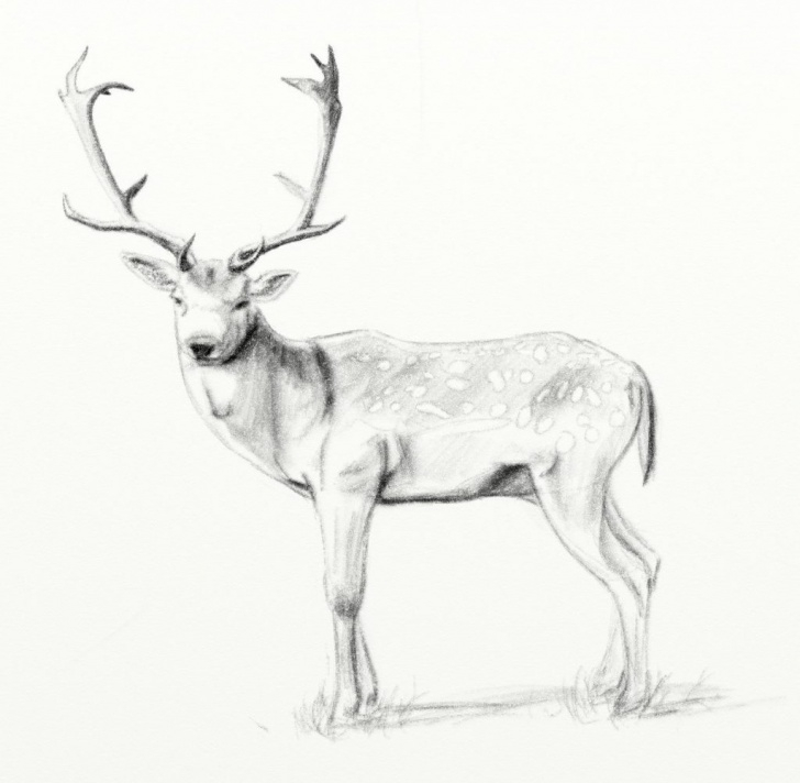 Interesting Reindeer Pencil Drawing Free Deer Pencil Drawings At Paintingvalley | Explore Collection Of Pics