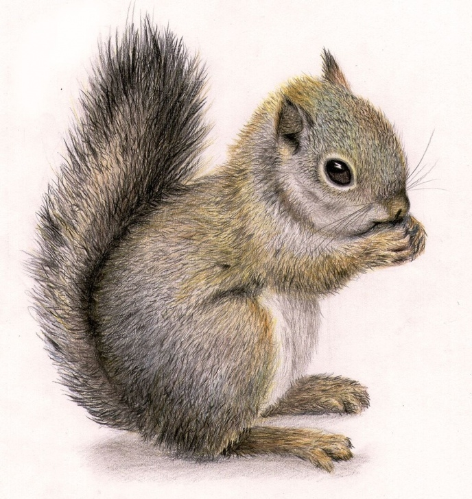 Interesting Squirrel Pencil Sketch Ideas Squirrel Draw … | Squirrels | Squir… Photos