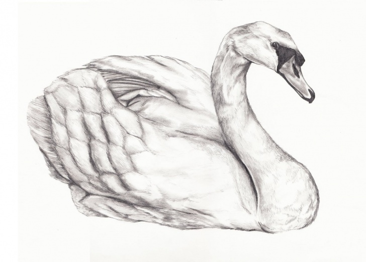 Interesting Swan Pencil Drawing Techniques Drawings Of Swans | Drawing Baby Swan | Nature In 2019 | Swan Photos