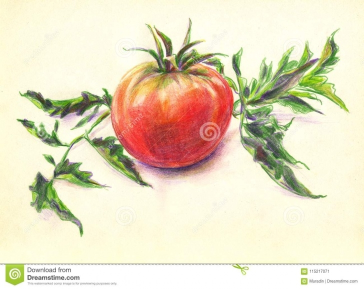 Interesting Tomato Pencil Drawing Tutorial Tomato Color Pencils Sketch Stock Illustration - Illustration Of Pictures