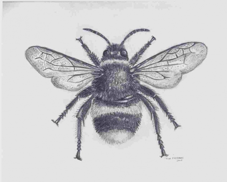 Learn Bee Pencil Drawing Tutorials Pencil Drawings Of Bees - Gigantesdescalzos - Gigantesdescalzos Pictures