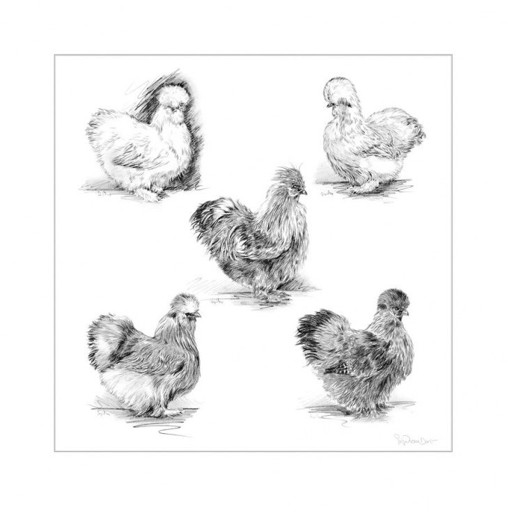 Learn Chicken Pencil Drawing Easy 48. Silkies Pencil Drawing By Sigrid Van Dort Photos